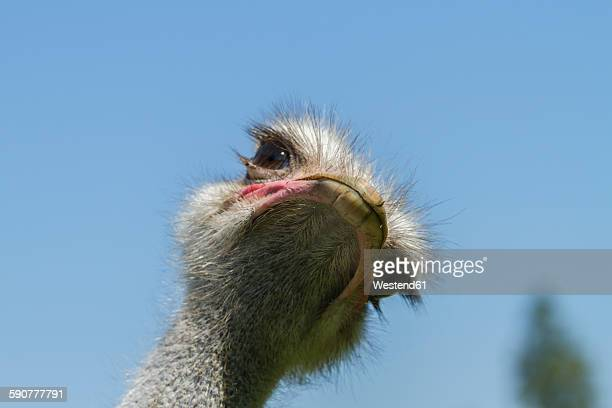 african ostrich, struthio camelus - ostrich stock pictures, royalty-free photos & images