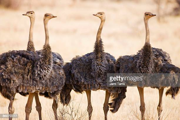 african ostriches (struthio camelus), samburu, kenya - ostrich stock pictures, royalty-free photos & images