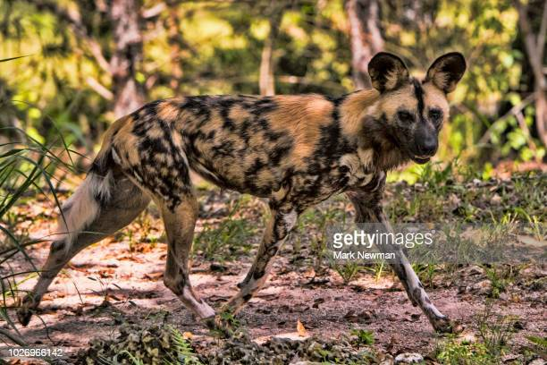 african painted dog - wild dog stock pictures, royalty-free photos & images