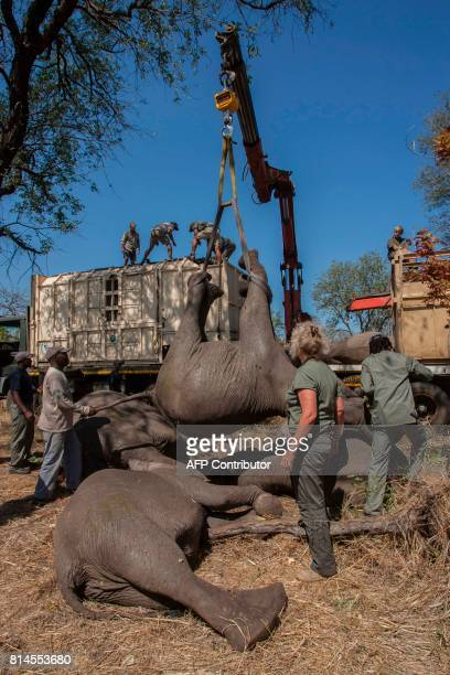 African Parks officials load elephants into a truck to be translocated from Majete Game Reserve southern Malawi to Nkhotakota in the central region...