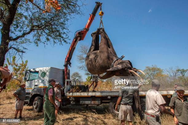 TOPSHOT African Parks officials load elephants into a truck to be translocated from Majete Game Reserve southern Malawi to Nkhotakota in the central...