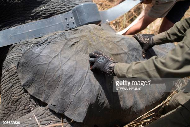 African Parks veterinarian Pete Morkel and rangers put a collar on a tranquillized elephant at Pendjari National Park near Tanguieta on January 10...