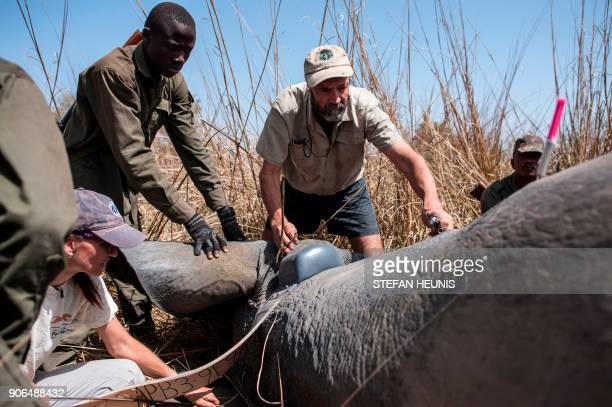 African Parks veterinarian Pete Morkel surrounded by rangers puts a collar on a tranquillized elephant at Pendjari National Park near Tanguieta on...