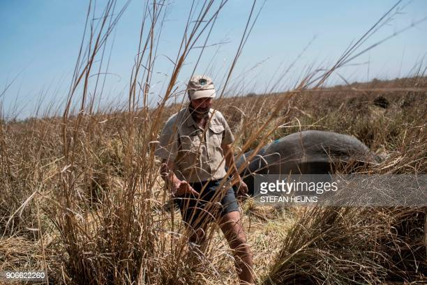 African Parks veterinarian Pete Morkel walks away from the tranquillized elephant after administering the reversal drug during a collaring exercise...