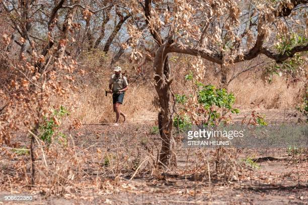 African Parks veterinarian Pete Morkel walks barefoot through bush after tranquillizing an elephant during a collaring exercise at Pendjari National...