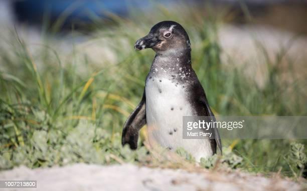 African penguin (jackass penguin) (Spheniscus demersus), Boulders Beach. Boulders Penguin Colony, Simon's Town, Cape Peninsula, South Africa, Africa