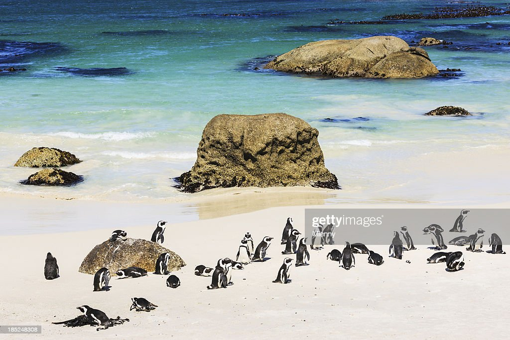 African Penguin Colony at the Beach Cape Town South Africa : Stock Photo