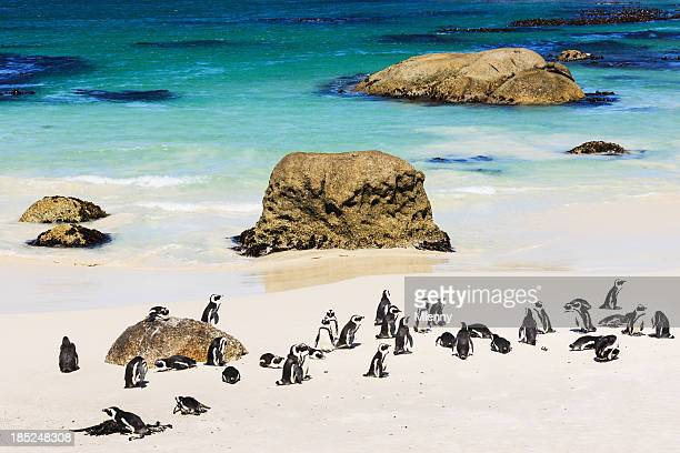 African Penguin Colony at the Beach Cape Town South Africa