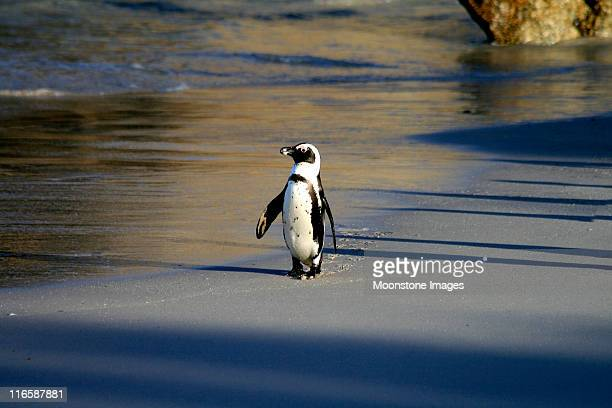 african penguin on boulders beach in cape town, south africa - african penguin stock pictures, royalty-free photos & images