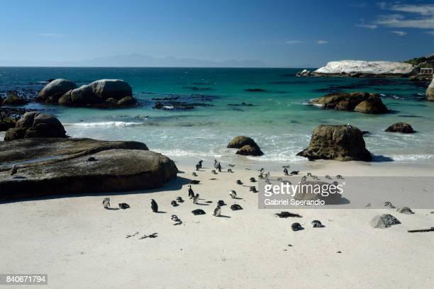 african penguin - kei stockfoto's en -beelden