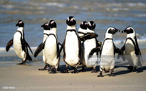 African penguins also known as Blackfooted Penguin are pictured at Table Mountain National Park between Simon's Town and Cape Point near Cape Town in...
