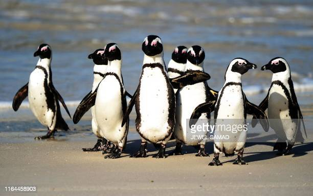 African penguins , also known as Black-footed Penguin, are pictured at Table Mountain National Park between Simon's Town and Cape Point, near Cape...