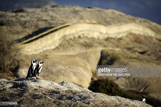 GERARDY == African penguins are pictured on March 16 2011 in Simon's Town near Cape Town South Africa Africa's only nesting penguin was reclassified...