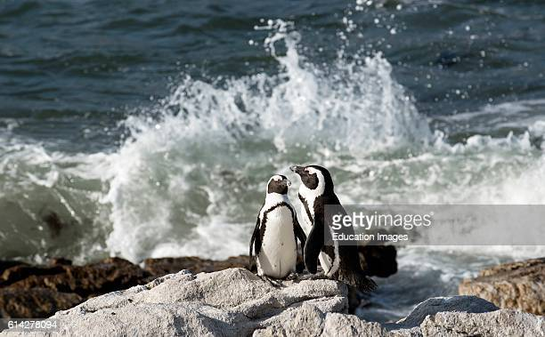African Penguins at Betty'S Bay In the Western Cape South Africa