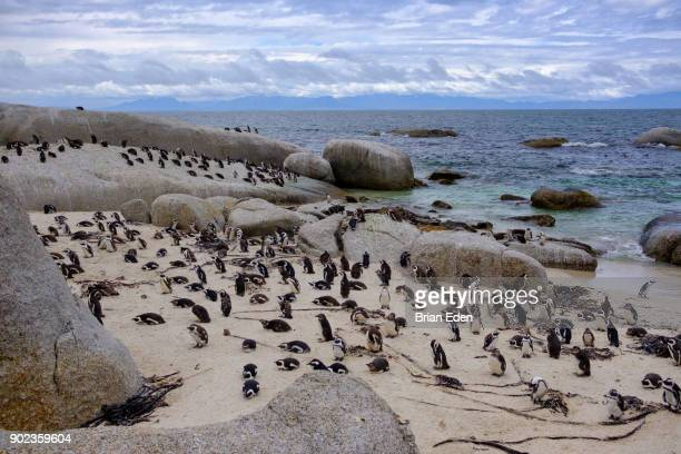 African penguins at Boulder Beach in Cape Town, South Africa