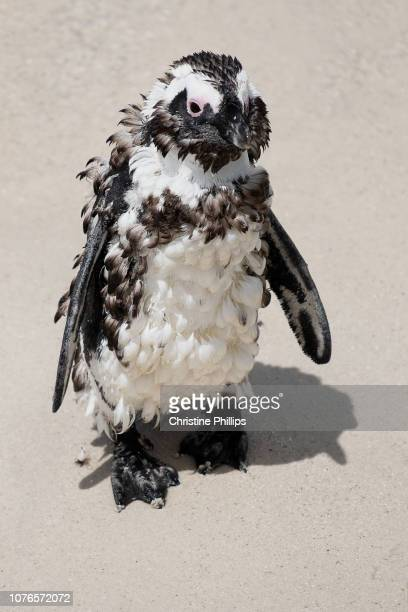 african penguins at boulders beach in cape town - ugly bird stock pictures, royalty-free photos & images