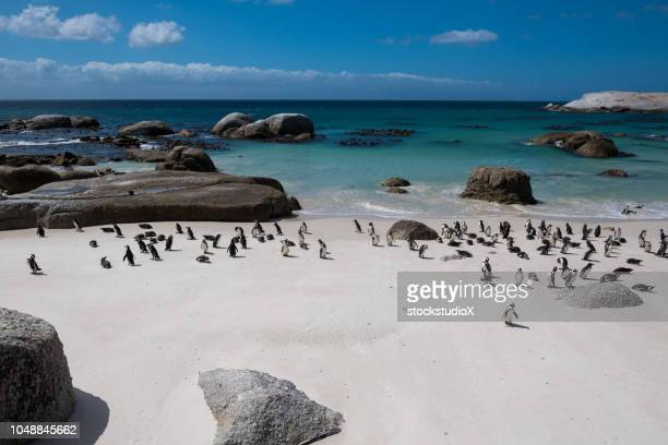 african penguins at boulders beach, south africa - african penguin stock pictures, royalty-free photos & images