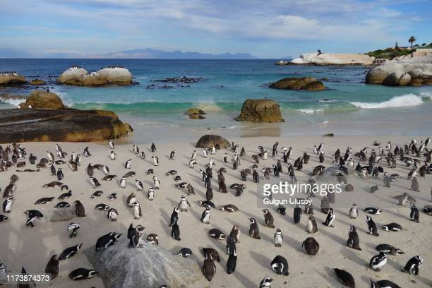 african penguins at boulders beach, south africa - rock formation stock pictures, royalty-free photos & images