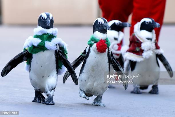 African penguins clad in Christmasthemed costumes go for a stroll at Hakkeijima Sea Paradise amusement park in Yokohama a suburb of Tokyo on December...
