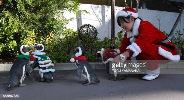 African penguins clad in Christmasthemed costumes go for a stroll with their keeper at Hakkeijima Sea Paradise amusement park in Yokohama a suburb of...