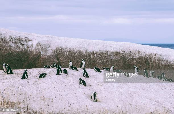 African Penguins Colony at Boulders Bay in South Africa