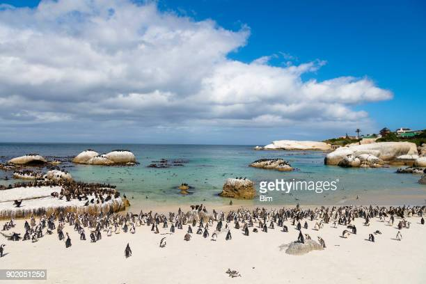 african penguins colony at boulders bay in south africa - wildlife reserve stock pictures, royalty-free photos & images