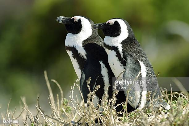 African Penguins huddle at the Boulders outside Simon's Town in Table Mountain National Park on March 16 2009 near Cape Town South Africa South...