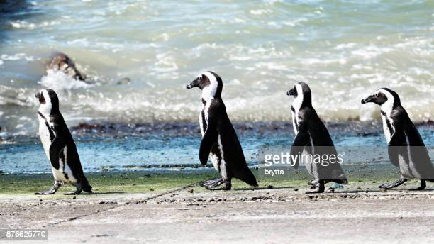 african penguins  (speniscus demersis) just have come out of the water near betty's bay, south africa - african penguin stock pictures, royalty-free photos & images