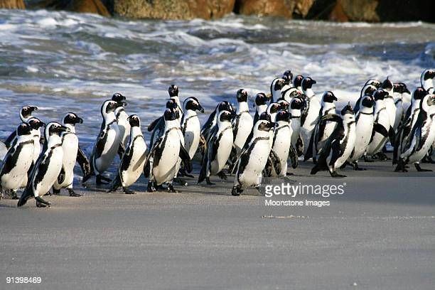 african penguins on boulders beach in cape town, south africa - african penguin stock pictures, royalty-free photos & images