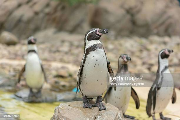 African Penguins Perching On Rocks