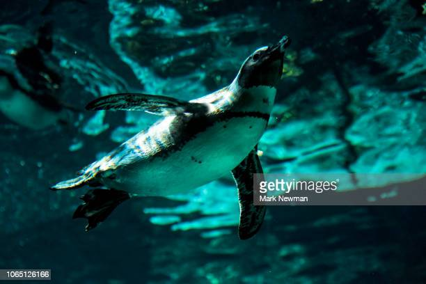 african penguins - african penguin stock pictures, royalty-free photos & images
