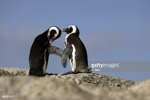 African Penguins preen on a rock at the Boulders outside Simon's Town in Table Mountain National Park on March 16, 2009 near Cape Town, South Africa....