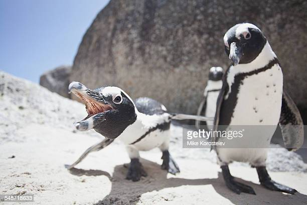african penguins, south africa - pinguïn stockfoto's en -beelden