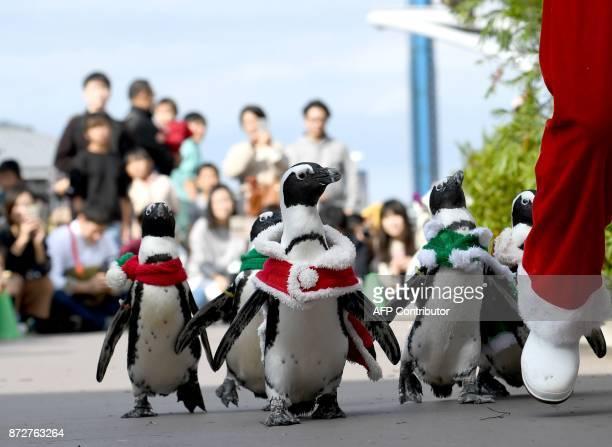 African penguins wearing a Christmasthemed costumes take part in a Christmas parade at the Hakkeijima Sea Paradise in Yokohama on November 11 2017...