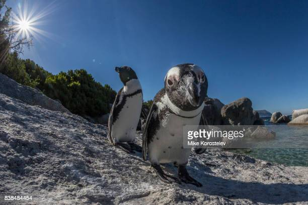 african penguins, wide angle portrait - african penguin stock pictures, royalty-free photos & images
