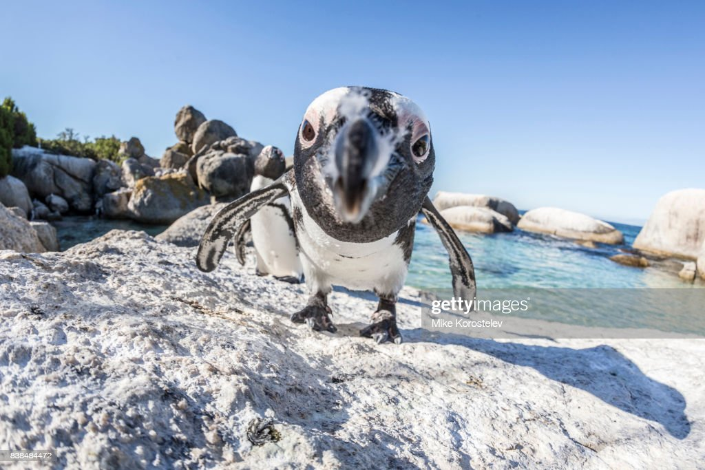 African penguins, wide angle portrait : Stockfoto