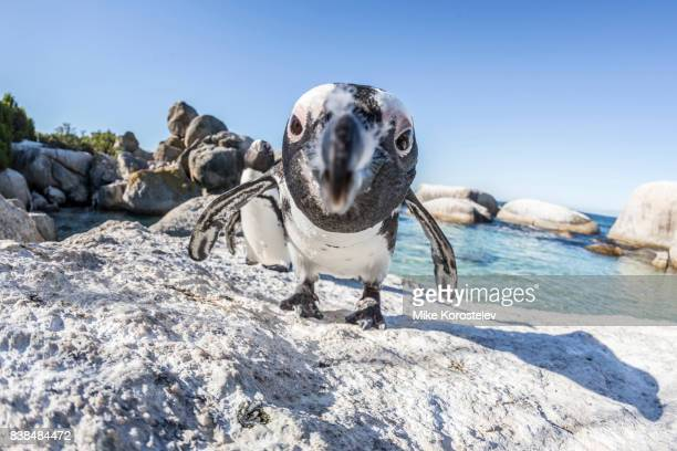 African penguins, wide angle portrait