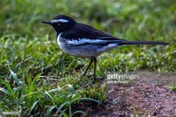 african pied wagtail - セキレイ ストックフォトと画像