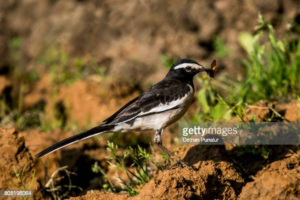 african pied wagtail with fly - セキレイ ストックフォトと画像