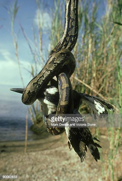 african python: python sebae  with pied kingfisher prey  lak e tanganyika, tanzania