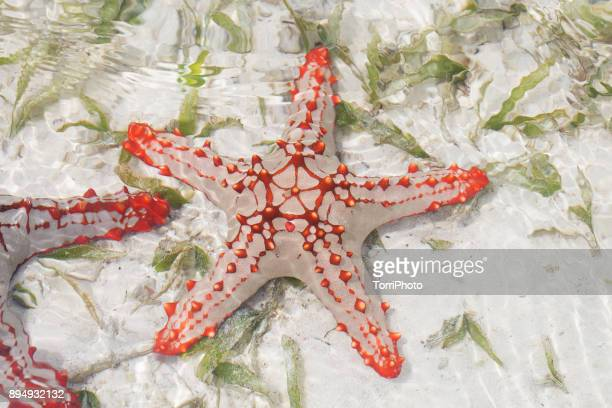 African red knob sea star (starfish) on coral reef at low tide