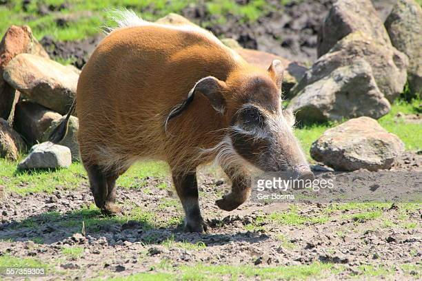 african red river hog - hairy bush stock pictures, royalty-free photos & images