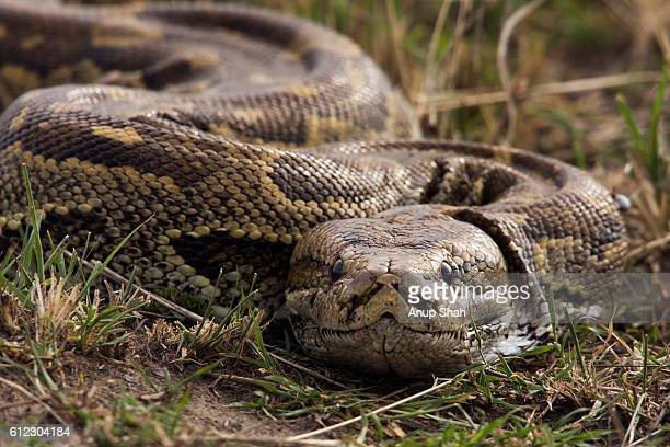 african rock python head portrait - python snake stock pictures, royalty-free photos & images