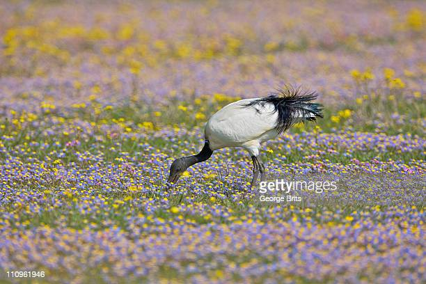 african sacred ibis (threskiornis aethiopicus) foraging for insects in field of flowers, near nieuwoudtville, northern cape province, south africa - for stock pictures, royalty-free photos & images