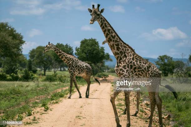 african safari animals - animal crossing stock pictures, royalty-free photos & images