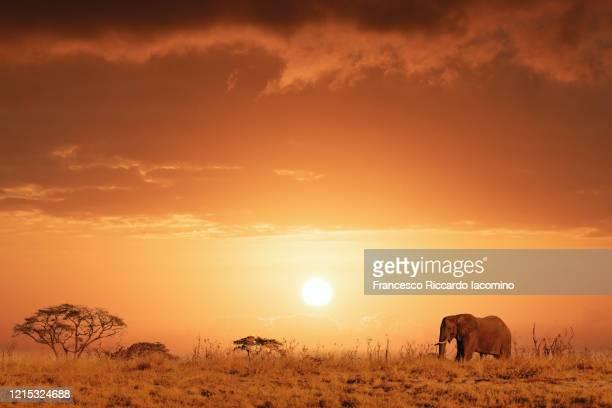 african safari at sunset, elephant in the savannah - iacomino botswana foto e immagini stock