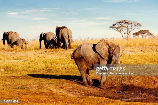 african safari at sunset, elephant washing in the savannah - iacomino botswana foto e immagini stock