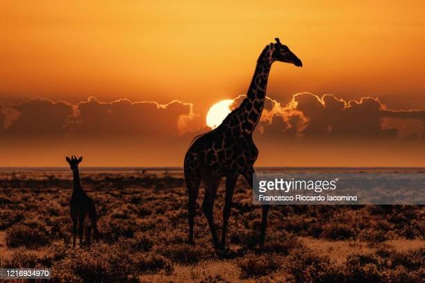 african safari at sunset, giraffes in the savannah - iacomino botswana foto e immagini stock