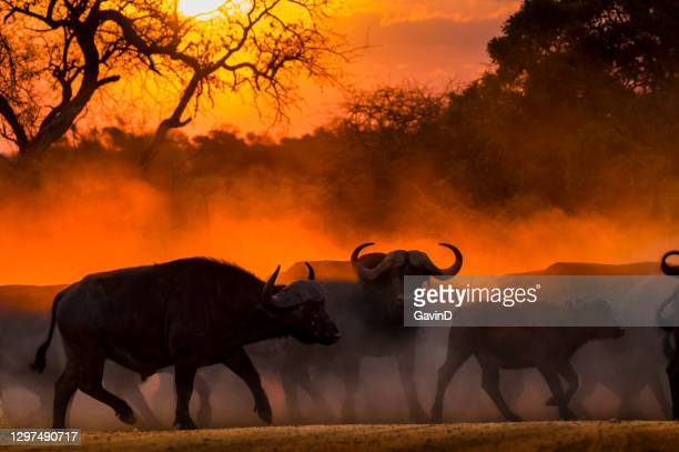 african safari cape buffalo sunset kruger national park south africa - mpumalanga province stock pictures, royalty-free photos & images