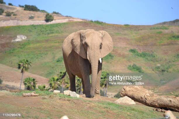 african safari - desert elephant stock pictures, royalty-free photos & images